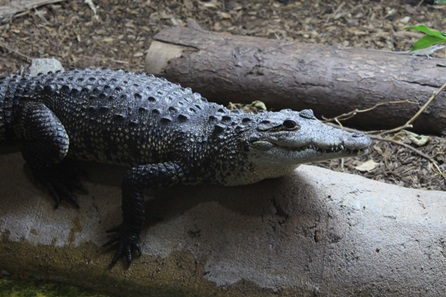 Crocodile Encounter at Hemsley Conservation Centre
