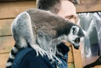 Meet the Lemurs at Hemsley Conservation Centre
