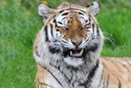 Tiger Encounter at Dartmoor Zoo