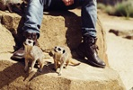 Up-Close Meerkat Encounter for Two at Woburn Safari Park